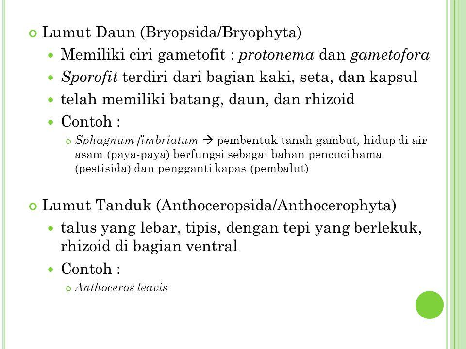 Lumut Daun (Bryopsida/Bryophyta) Memiliki ciri gametofit : protonema dan gametofora Sporofit terdiri dari bagian kaki, seta, dan kapsul telah memiliki