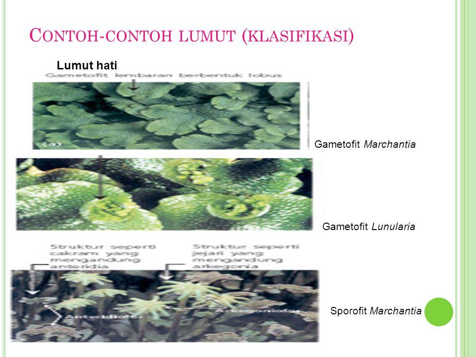 C ONTOH - CONTOH LUMUT ( KLASIFIKASI ) Lumut hati Gametofit Marchantia Gametofit Lunularia Sporofit Marchantia