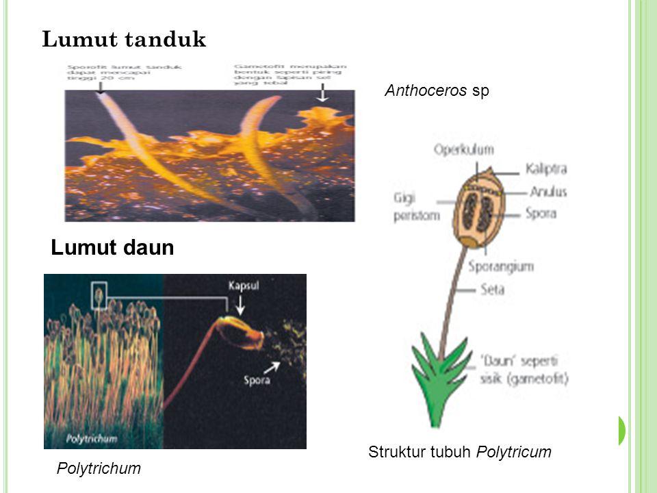 Lumut tanduk Anthoceros sp Lumut daun Polytrichum Struktur tubuh Polytricum