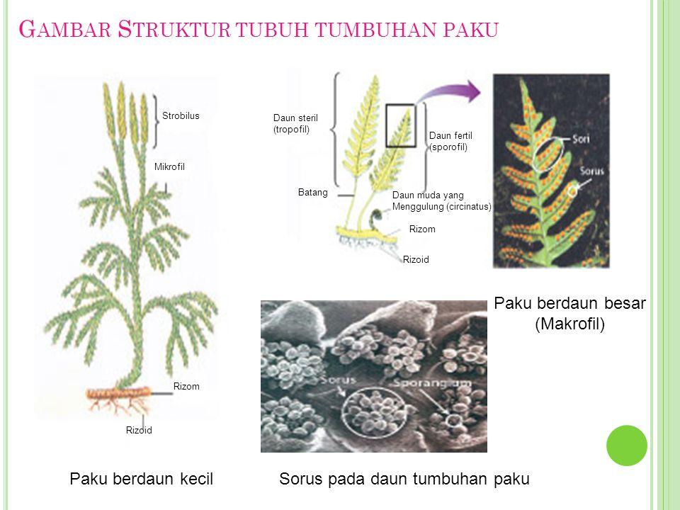 G AMBAR S TRUKTUR TUBUH TUMBUHAN PAKU Paku berdaun kecil Paku berdaun besar (Makrofil) Sorus pada daun tumbuhan paku Strobilus Mikrofil Rizom Rizoid R