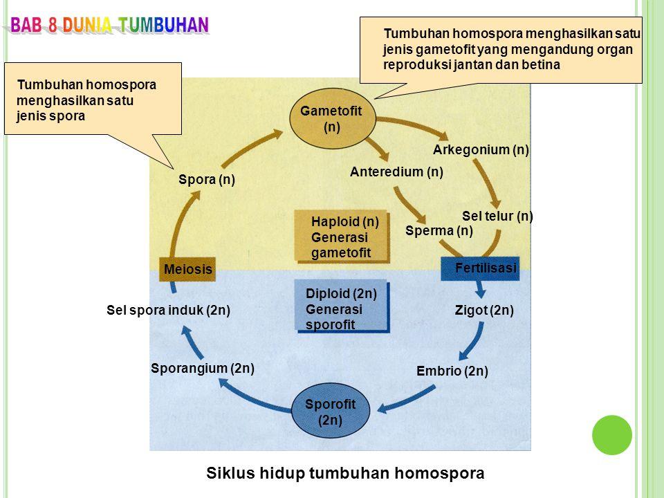 Siklus hidup tumbuhan homospora Gametofit (n) Haploid (n) Generasi gametofit Diploid (2n) Generasi sporofit Sporofit (2n) Spora (n) Meiosis Sel spora