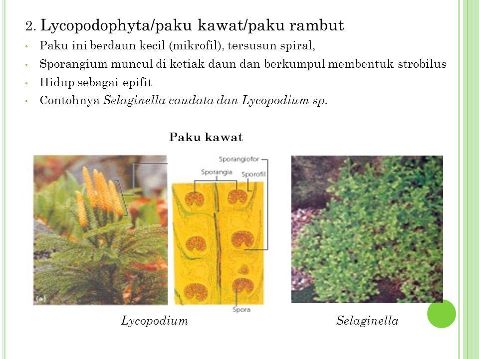 2. Lycopodophyta/paku kawat/paku rambut Paku ini berdaun kecil (mikrofil), tersusun spiral, Sporangium muncul di ketiak daun dan berkumpul membentuk s