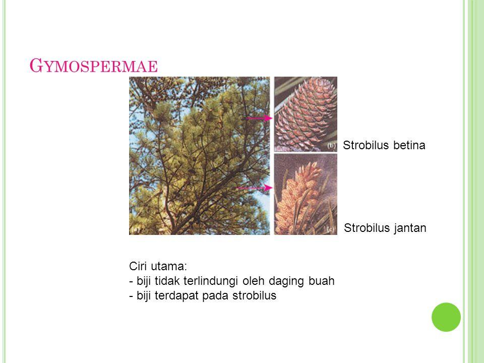 G YMOSPERMAE Ciri utama: - biji tidak terlindungi oleh daging buah - biji terdapat pada strobilus Strobilus betina Strobilus jantan
