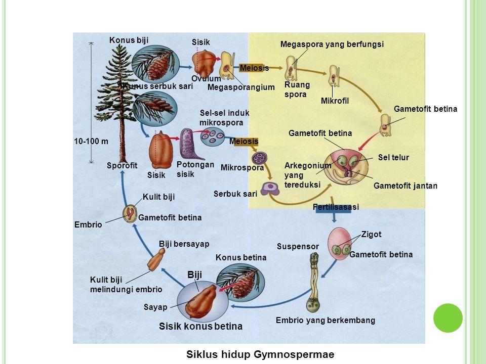 Sayap Konus betina Kulit biji melindungi embrio Biji bersayap Embrio Gametofit betina Kulit biji Embrio yang berkembang Suspensor Fertilisasasi Zigot