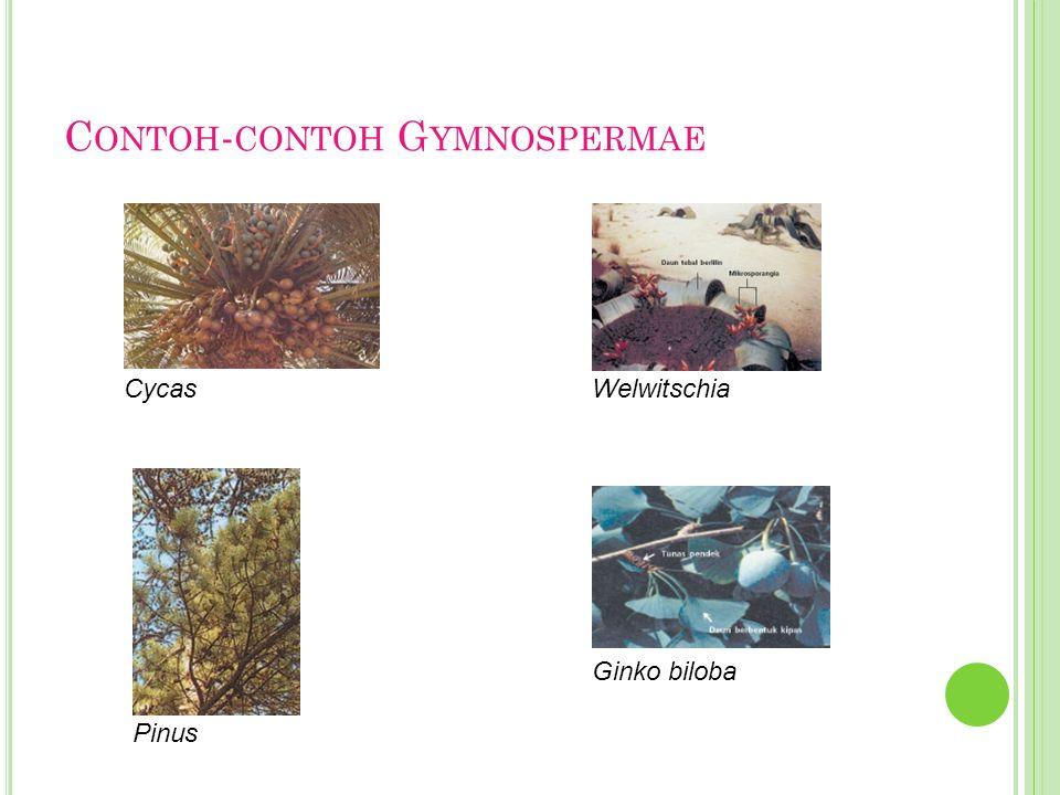 C ONTOH - CONTOH G YMNOSPERMAE Cycas Pinus Welwitschia Ginko biloba