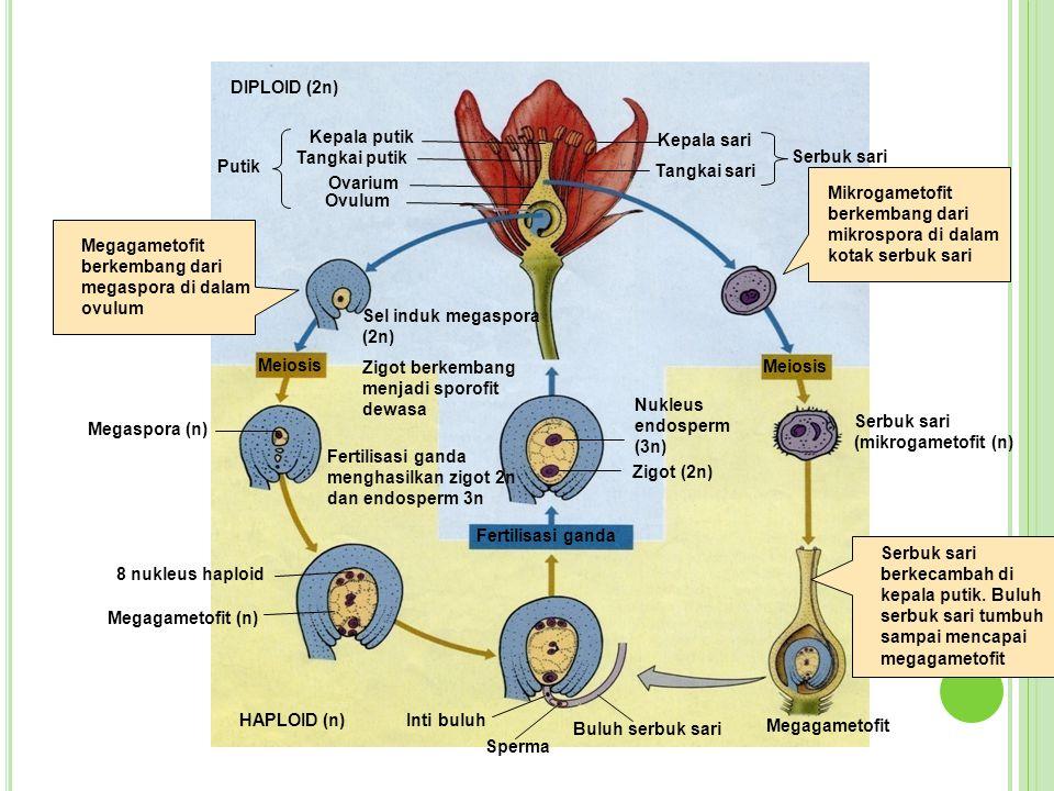 Inti buluh Sperma Buluh serbuk sari HAPLOID (n) 8 nukleus haploid Megagametofit (n) Fertilisasi ganda Megaspora (n) Fertilisasi ganda menghasilkan zig