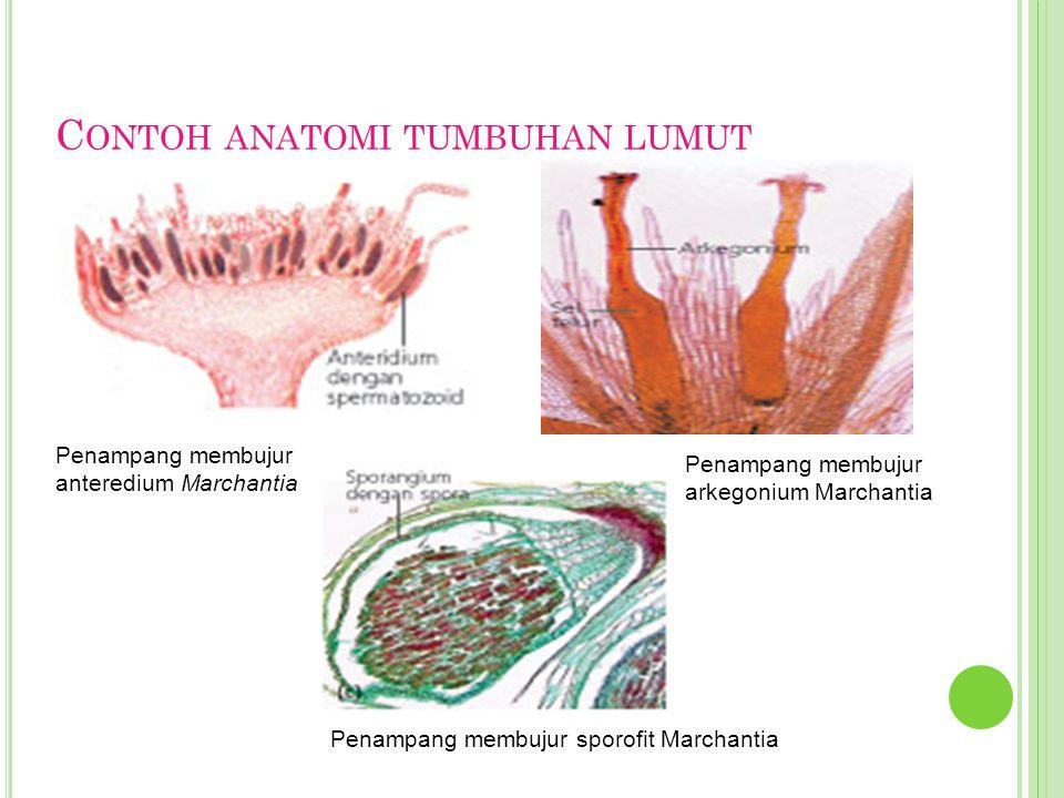 G AMBAR S TRUKTUR TUBUH TUMBUHAN PAKU Paku berdaun kecil Paku berdaun besar (Makrofil) Sorus pada daun tumbuhan paku Strobilus Mikrofil Rizom Rizoid Rizom Daun steril (tropofil) Daun fertil (sporofil) Batang Daun muda yang Menggulung (circinatus) Rizoid Rizom
