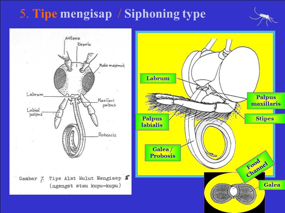 5. Tipe mengisap / Siphoning type Labrum Palpus labialis Galea / Probosis Palpus maxillaris Stipes Galea Food Channel