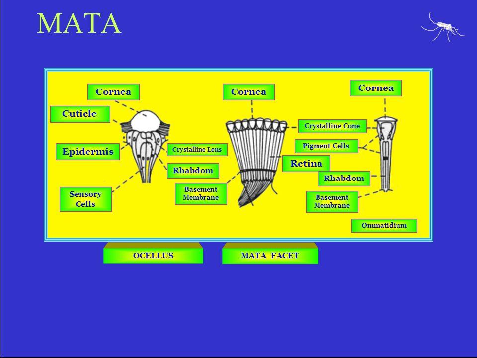 MATA Cornea Cuticle Epidermis Sensory Cells Crystalline Lens Rhabdom Basement Membrane Crystalline Cone Pigment Cells Retina Rhabdom Basement Membrane