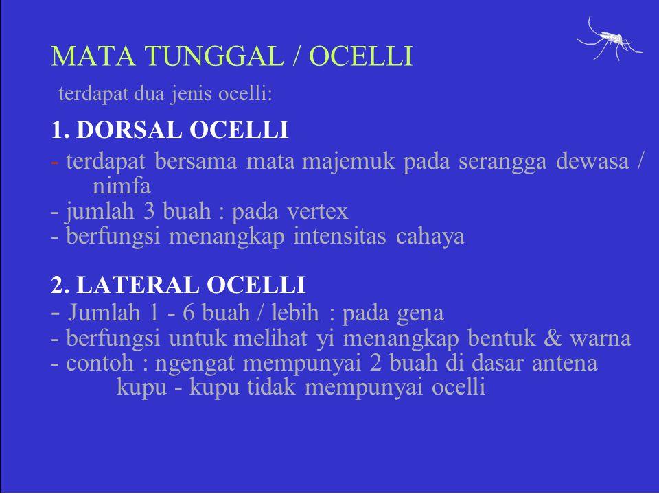 MATA TUNGGAL / OCELLI terdapat dua jenis ocelli: 1. DORSAL OCELLI - terdapat bersama mata majemuk pada serangga dewasa / nimfa - jumlah 3 buah : pada