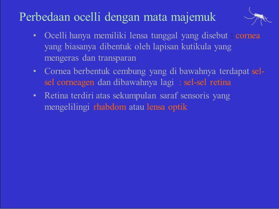 Perbedaan ocelli dengan mata majemuk Ocelli hanya memiliki lensa tunggal yang disebut : cornea yang biasanya dibentuk oleh lapisan kutikula yang menge
