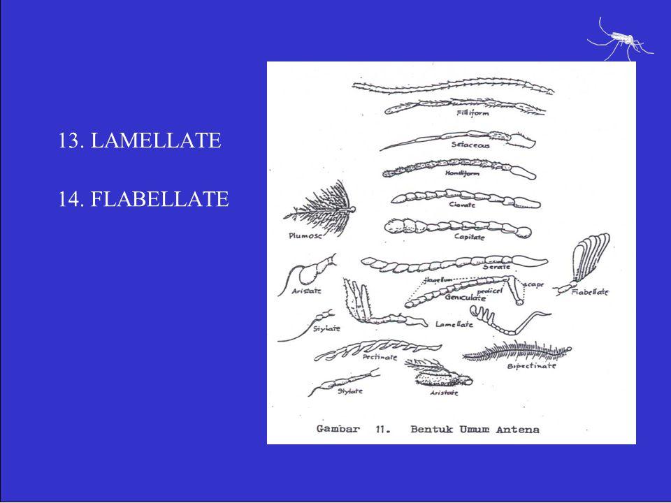 13. LAMELLATE 14. FLABELLATE