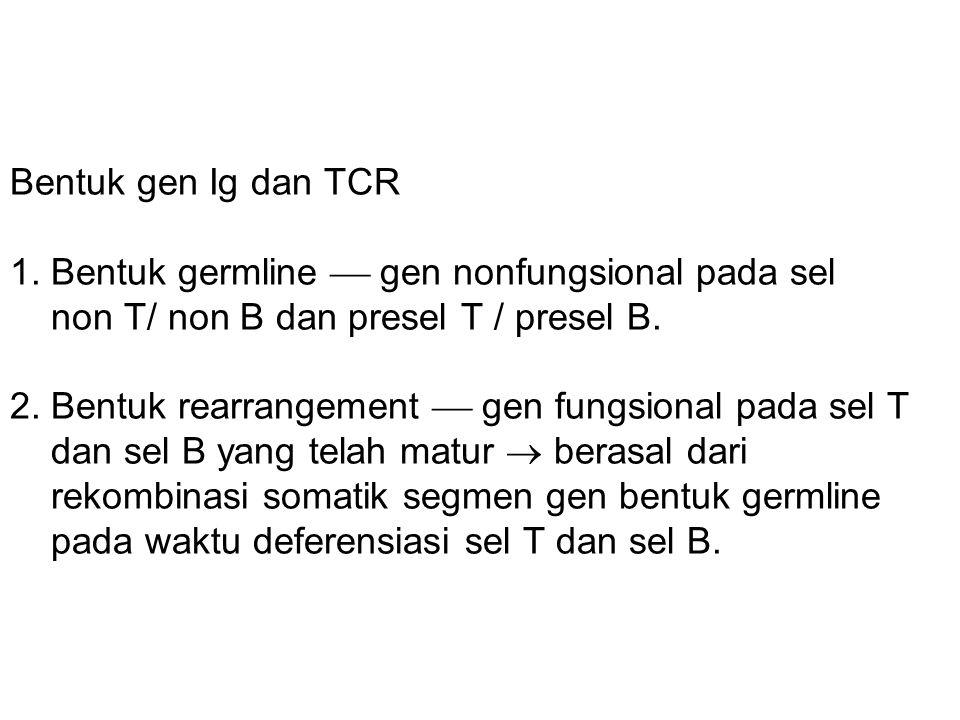 Komposisi gen TCR bentuk germline dan rearrangement Domain (exon) TCR  TCR  Bentuk germline V D J C 50 -- 50 1 70 2 13 2 Bentuk rearrangement Kombinasi Tambahan N-sequence 2,5 X 10 3 2,5 X 10 5 3,6 X 10 3 3,6 X 10 5 Diversitas TCR  10 11 kombinasi