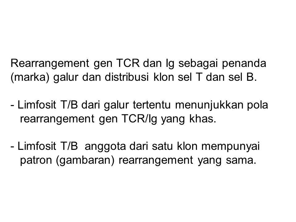Rearrangement gen TCR dan Ig sebagai penanda (marka) galur dan distribusi klon sel T dan sel B. - Limfosit T/B dari galur tertentu menunjukkan pola re
