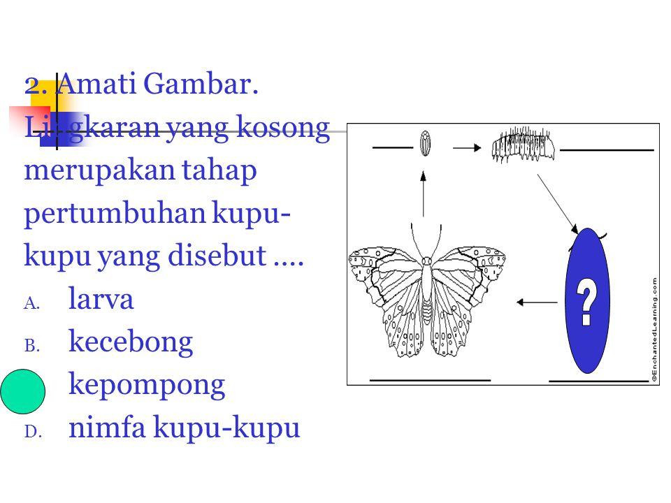 2. Amati Gambar. Lingkaran yang kosong merupakan tahap pertumbuhan kupu- kupu yang disebut …. A. larva B. kecebong C. kepompong D. nimfa kupu-kupu