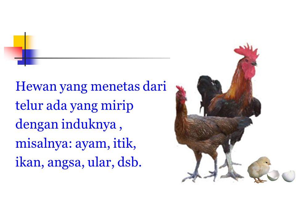 Hewan yang menetas dari telur ada yang mirip dengan induknya, misalnya: ayam, itik, ikan, angsa, ular, dsb.