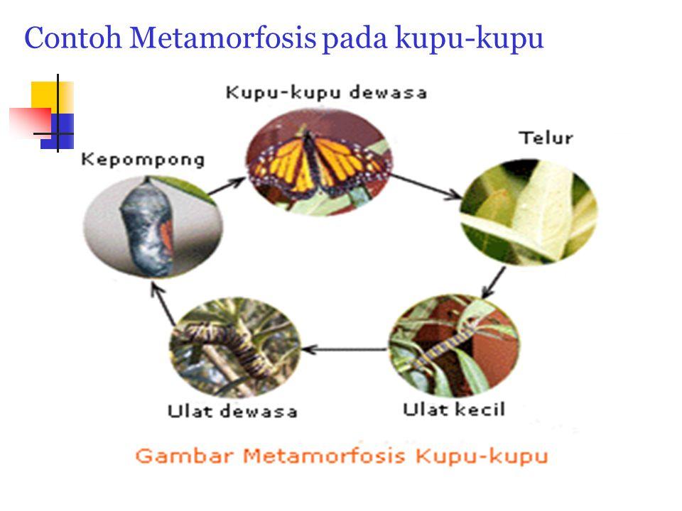 Contoh Metamorfosis pada kupu-kupu