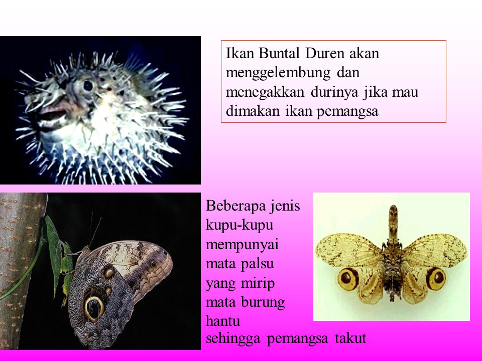 Ikan Buntal Duren akan menggelembung dan menegakkan durinya jika mau dimakan ikan pemangsa Beberapa jenis kupu-kupu mempunyai mata palsu yang mirip mata burung hantu sehingga pemangsa takut