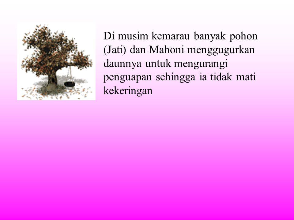 Di musim kemarau banyak pohon (Jati) dan Mahoni menggugurkan daunnya untuk mengurangi penguapan sehingga ia tidak mati kekeringan