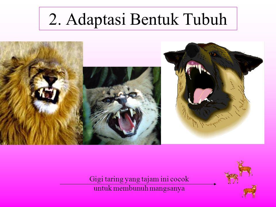 2. Adaptasi Bentuk Tubuh Gigi taring yang tajam ini cocok untuk membunuh mangsanya