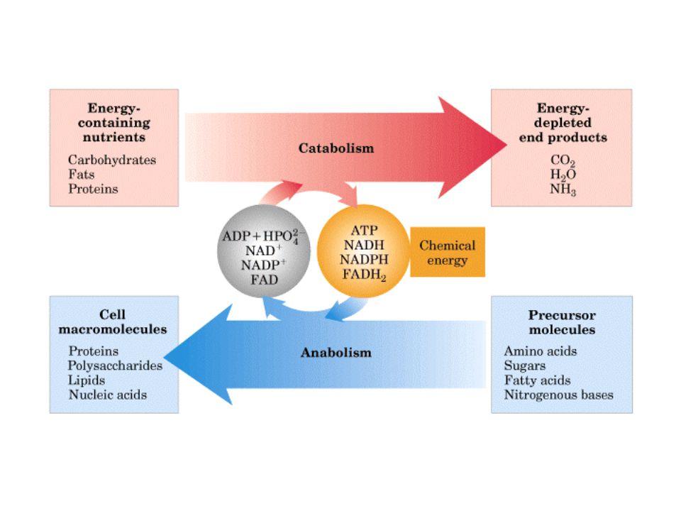 KI3061Zeily Nurachman7 Konvergen Divergen Lingkar Tipe jalur metabolisme