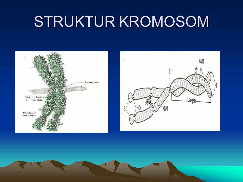 Bentuk Kromosom 1.Metasentris : apabila sentromer terletak median 2.Submetasentrik : Sentromer terletak submedian 3.Akrosentris : Sentromer terletak subterminal 4.Telosentris : Sentromer terletak diujung kromosom