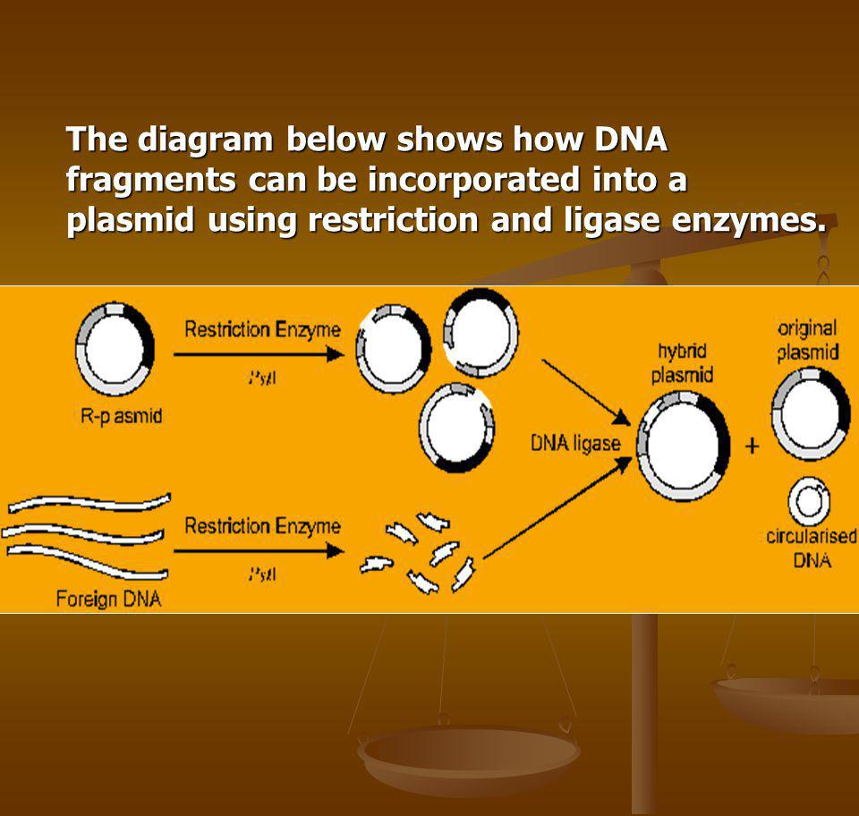 The diagram below shows how DNA fragments can be incorporated into a plasmid using restriction and ligase enzymes.