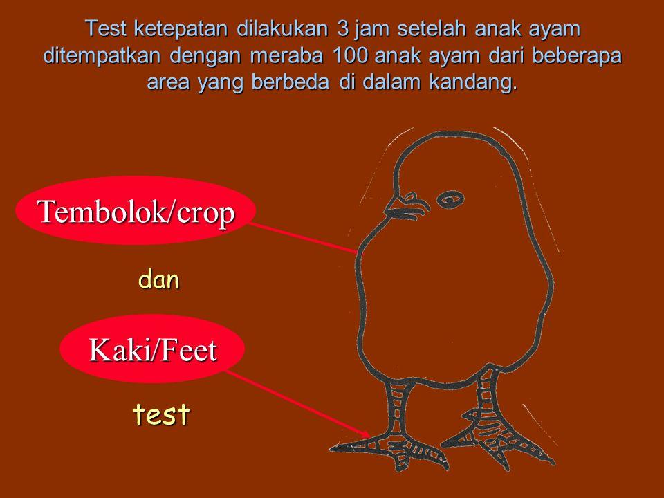 Kaki/Feet Tembolok/crop Test ketepatan dilakukan 3 jam setelah anak ayam ditempatkan dengan meraba 100 anak ayam dari beberapa area yang berbeda di dalam kandang.