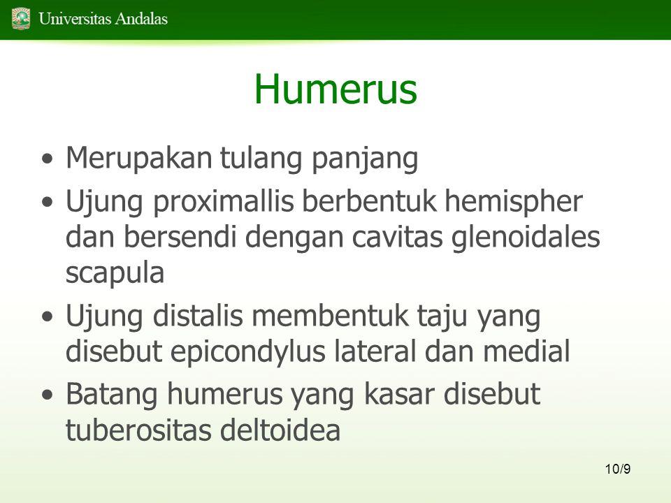 10/9 Humerus Merupakan tulang panjang Ujung proximallis berbentuk hemispher dan bersendi dengan cavitas glenoidales scapula Ujung distalis membentuk t