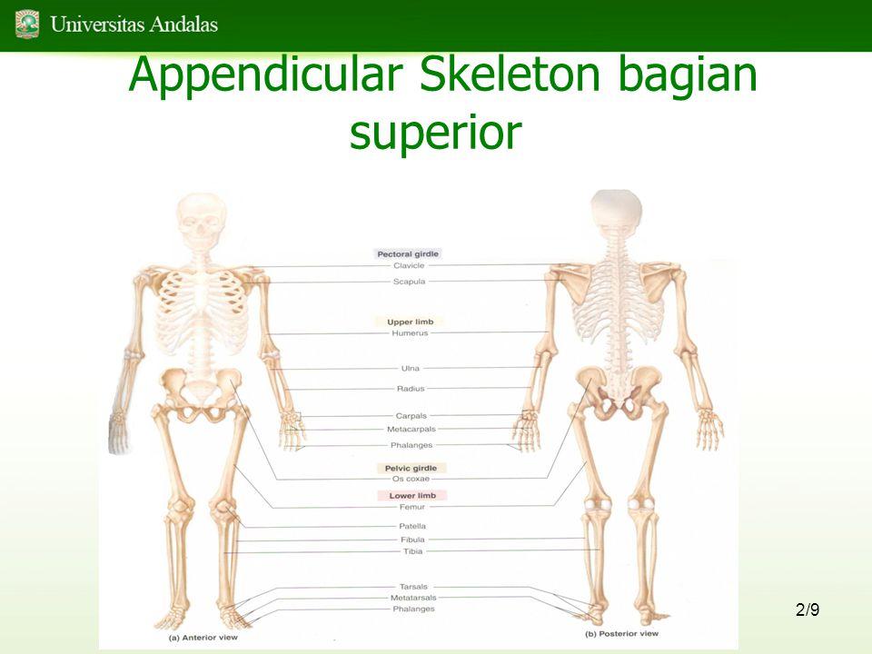 2/9 Appendicular Skeleton bagian superior