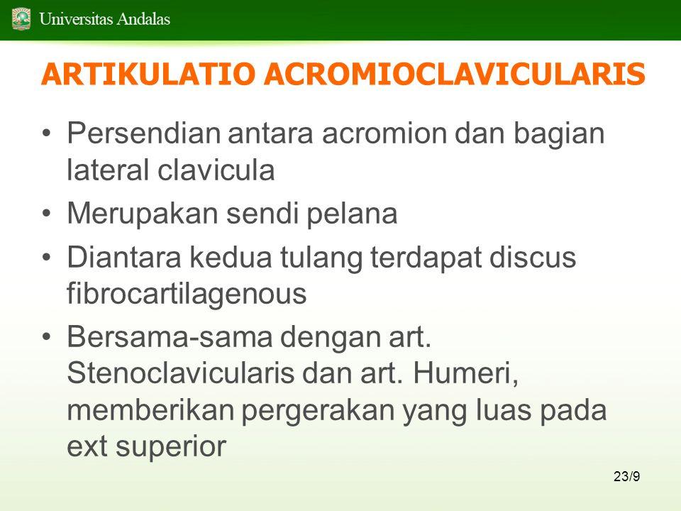 23/9 ARTIKULATIO ACROMIOCLAVICULARIS Persendian antara acromion dan bagian lateral clavicula Merupakan sendi pelana Diantara kedua tulang terdapat discus fibrocartilagenous Bersama-sama dengan art.