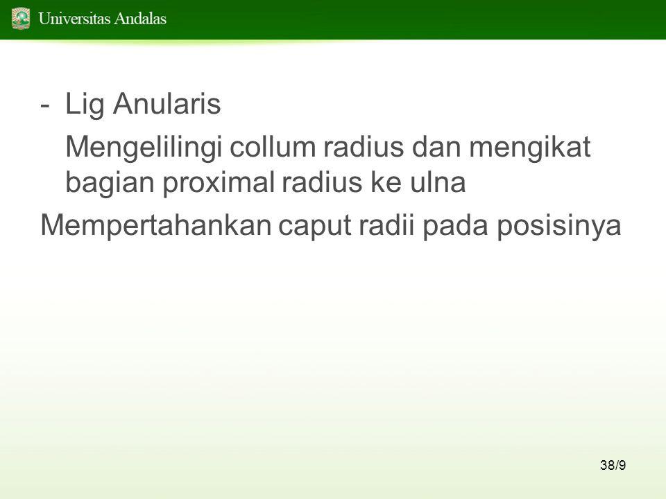 38/9 -Lig Anularis Mengelilingi collum radius dan mengikat bagian proximal radius ke ulna Mempertahankan caput radii pada posisinya