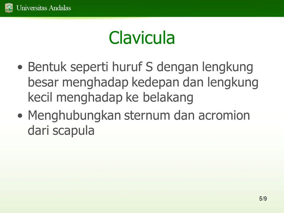 5/9 Clavicula Bentuk seperti huruf S dengan lengkung besar menghadap kedepan dan lengkung kecil menghadap ke belakang Menghubungkan sternum dan acromion dari scapula