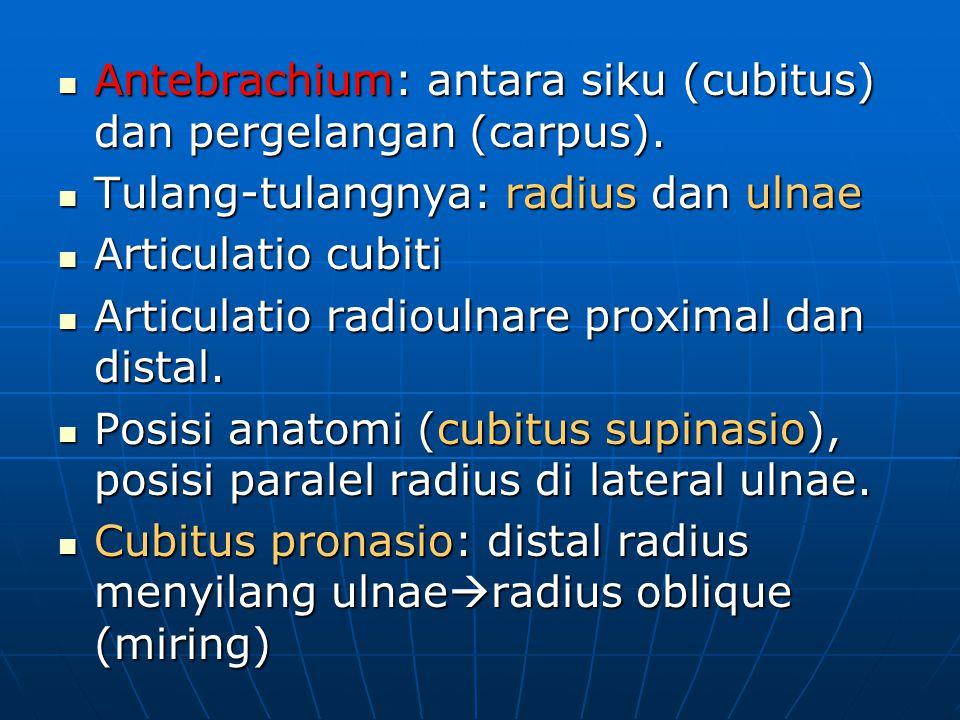 Antebrachium: antara siku (cubitus) dan pergelangan (carpus). Antebrachium: antara siku (cubitus) dan pergelangan (carpus). Tulang-tulangnya: radius d