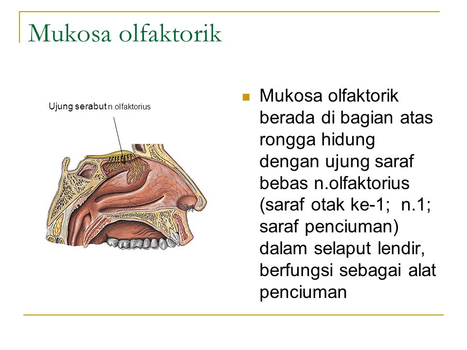 Mukosa olfaktorik berada di bagian atas rongga hidung dengan ujung saraf bebas n.olfaktorius (saraf otak ke-1; n.1; saraf penciuman) dalam selaput lendir, berfungsi sebagai alat penciuman Ujung serabut n.olfaktorius