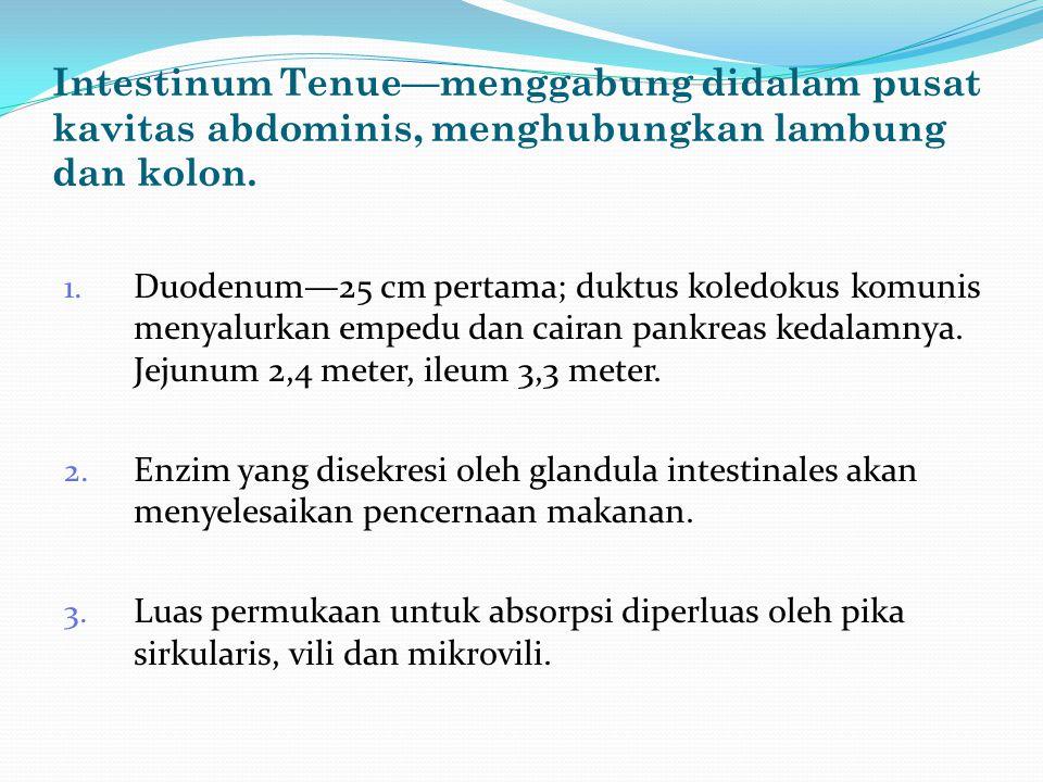 Intestinum Tenue—menggabung didalam pusat kavitas abdominis, menghubungkan lambung dan kolon. 1. Duodenum—25 cm pertama; duktus koledokus komunis meny