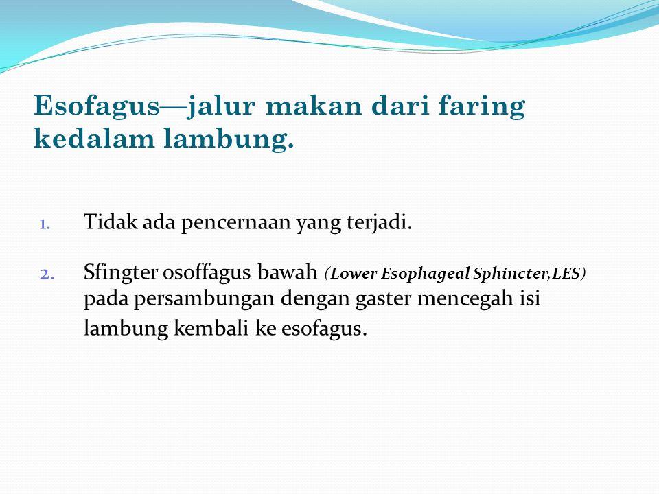 Esofagus—jalur makan dari faring kedalam lambung. 1. Tidak ada pencernaan yang terjadi. 2. Sfingter osoffagus bawah (Lower Esophageal Sphincter,LES) p