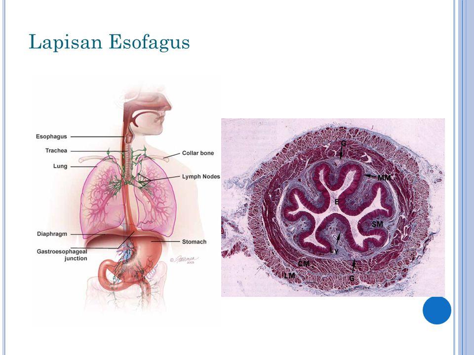 Lapisan Esofagus