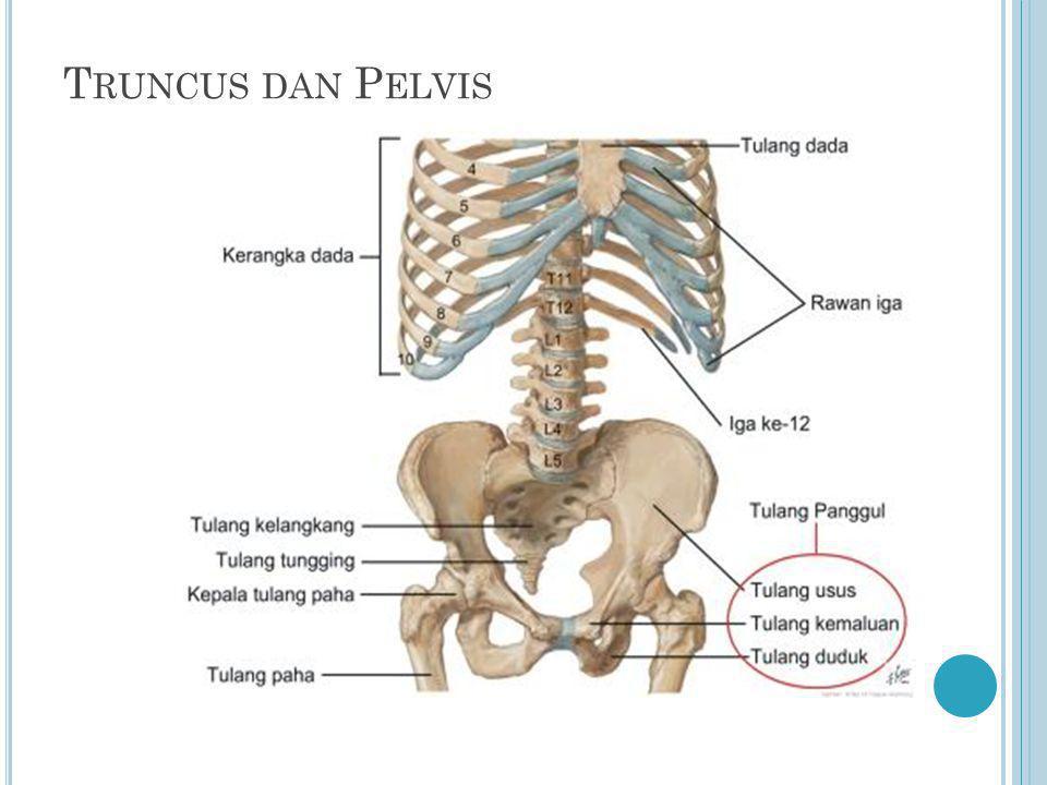 T RUNCUS DAN P ELVIS