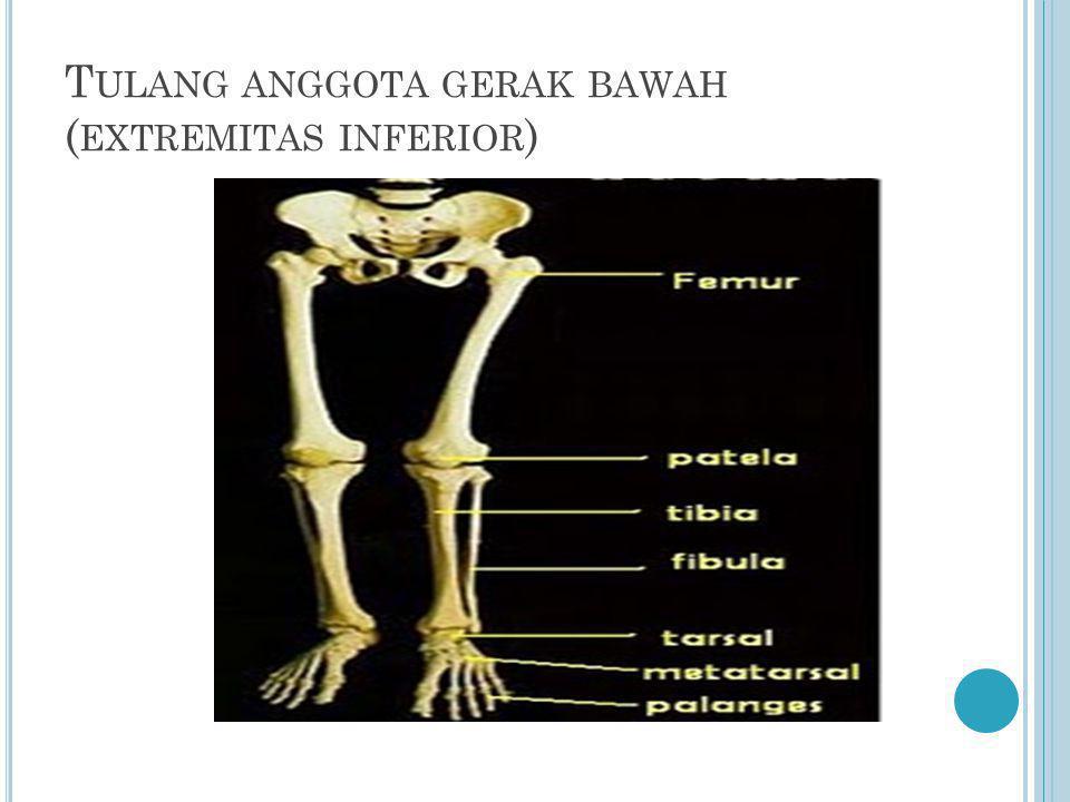T ULANG ANGGOTA GERAK BAWAH ( EXTREMITAS INFERIOR )