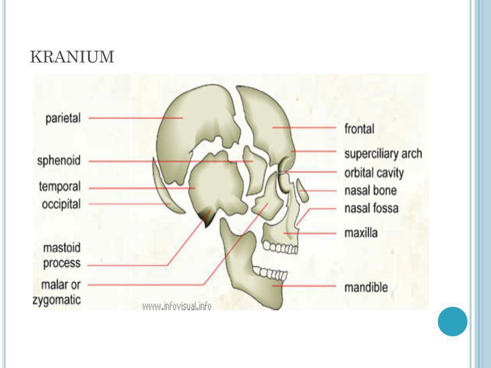 Tulang Wajah Bagian rahang: 2 Os maksila (tulang rahang atas) 1 Os mandibula (tulang Rahang bawah) 2 Os zigomatikum (tulang pipi) 2 Os palatum (tulang Langit-langit) Bagian Hidung: 2 Os nasale (tulang Hidung) 1 Os vomer (sekat rongga hidung) 2 Os lakrimalis (tulang mata) 2 Os konka nasal (tulang karang hidung)