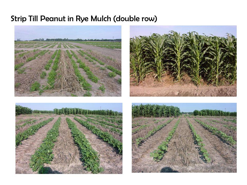 Strip Till Peanut in Rye Mulch (double row)