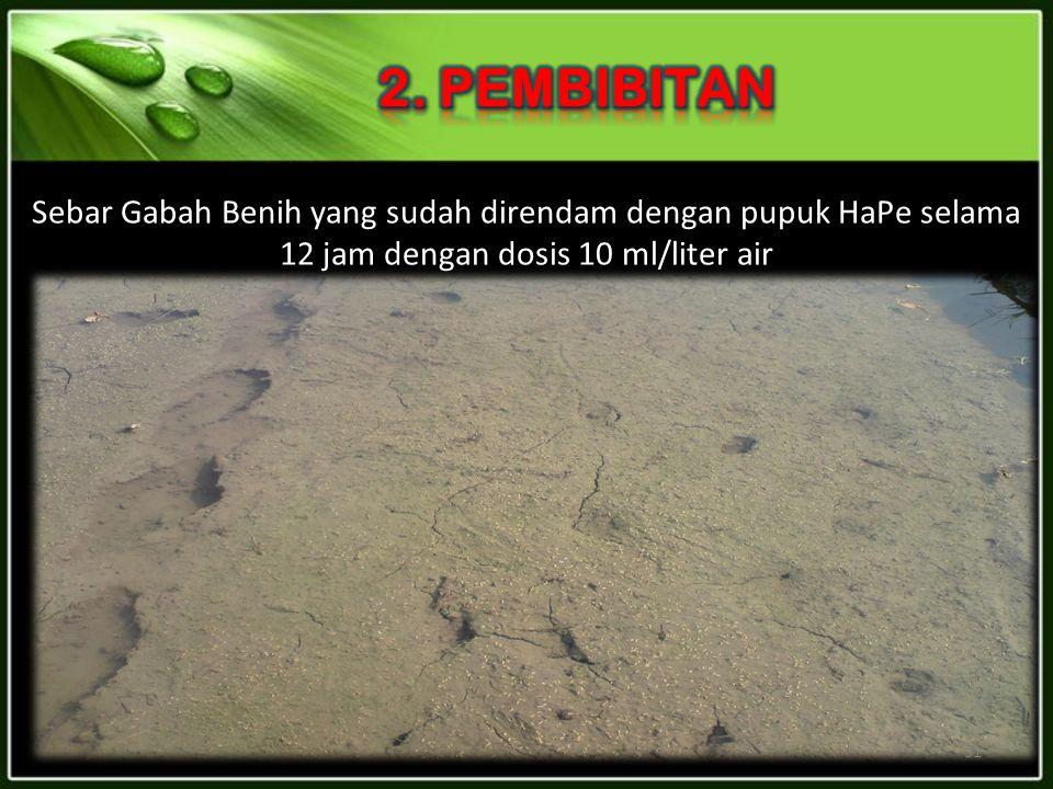Sebar Gabah Benih yang sudah direndam dengan pupuk HaPe selama 12 jam dengan dosis 10 ml/liter air 31