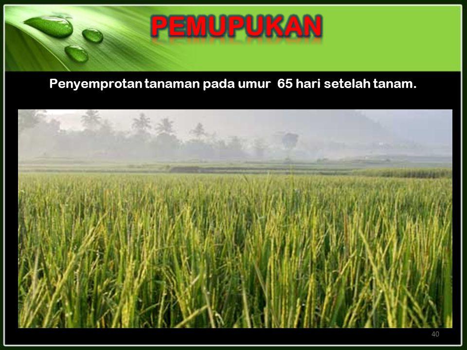 40 Penyemprotan tanaman pada umur 65 hari setelah tanam.