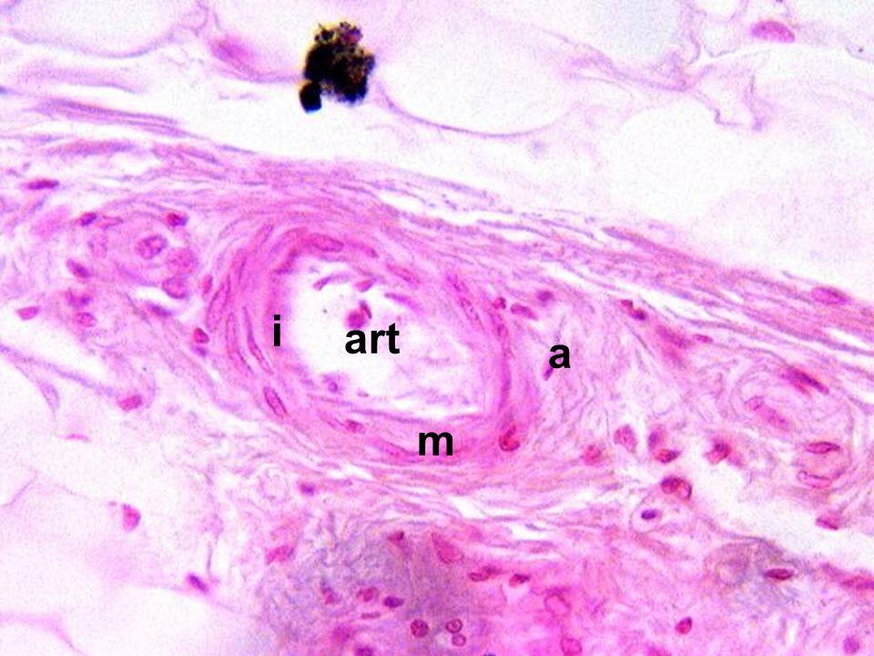 11/23/2014 Cardiovascular System art m a i
