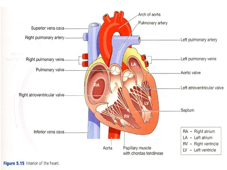 ...Jantung Memiliki 4 ruang –Ventrikel kanan dan ventrikel kiri –Atrium kanan dan atrium kiri Memiliki 4 jenis katup –Katup trikuspidalis –Katup bikuspidalis/ mitral –Katup aorta –Katup pulmonal