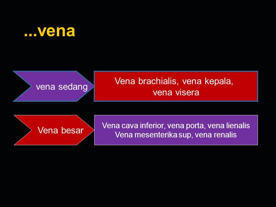 ...vena vena sedang Vena brachialis, vena kepala, vena visera Vena besar Vena cava inferior, vena porta, vena lienalis Vena mesenterika sup, vena rena