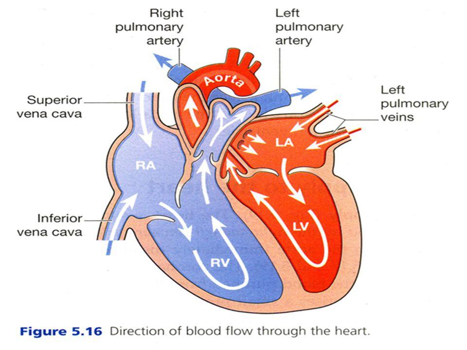 ...Jantung Secara Histologis terdiri dari 3 lapisan 1. Endokardium 2. Miokardium 3. epikardium