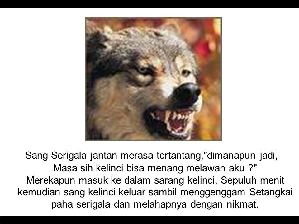 Sang Serigala jantan merasa tertantang,