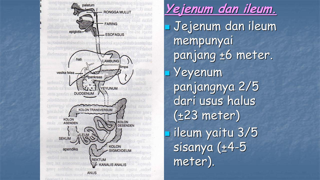 Yejenum dan ileum. Jejenum dan ileum mempunyai panjang ±6 meter. Jejenum dan ileum mempunyai panjang ±6 meter. Yeyenum panjangnya 2/5 dari usus halus